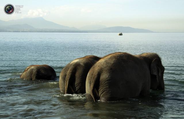 éléphant dans léman